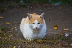 Cat rusty redhead pricked up Royalty Free Stock Photography