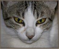 Cat& x27; s眼睛 免版税库存图片