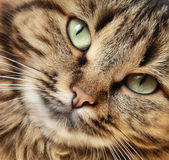 Cat`s close-up Stock Photography