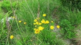 Cat`s ear flower Hypochaeris on alpine landscape.  stock footage