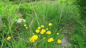 Cat's ear flower Hypochaeris on alpine landscape.  stock video