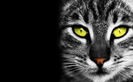 Cat's eye. Portrait of cat with yellow eyes on black background Stock Image