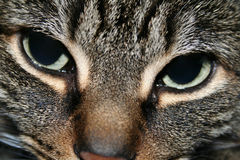 Cat's Eye. Sharp glaring eyes stock image