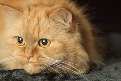Cat's-eye. Red cat on a black background royalty free stock photography