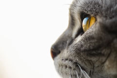 Cat's eye macro close up british shorthair silver tabby. Cat watching through a window. Sky reflection in cats eyes. British short hair silver tabby Royalty Free Stock Photography
