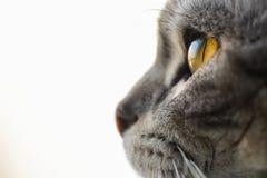 Cats eye british shorthair silver tabby Royalty Free Stock Photography