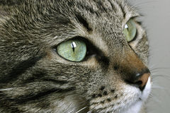 Cat's eyes Stock Photography