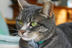Cat's eyes. A cat with green eyes an a misterious glare stock photography