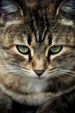 Cat's Eyes. The staid look of the cat in the morning Stock Photography