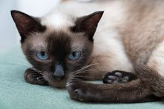 The cat`s eyes. A cat staring at you Royalty Free Stock Photos