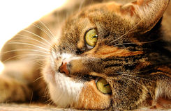 Cat. 's eyes staring at you Royalty Free Stock Photo