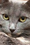 Cat's face. Closeup view of calm cat face Stock Photography