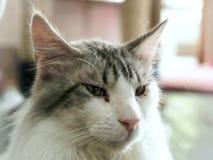 Cat`s face. Closeuo of Cat`s face Stock Photos