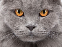 Cat's face closeup Stock Images