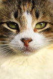 Cat's face closeup Royalty Free Stock Photography