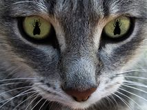 The cat`s face with eyes as fly. The concept of hunting for flies. Macro. stock photography