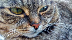 Cat`s face - large-scale. Great photo with a striped cat with big green eyes in large-scale plan royalty free stock photography