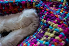 Cat`s feet. Paws of a white cat. Turkish Angora Stock Photo