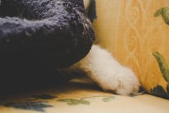 Cat`s feet. Paws of a white cat. Turkish Angora Royalty Free Stock Image
