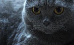 cat' s-Gesichtsnahaufnahme auf Seite, blaue britische Falte lizenzfreie stockfotografie