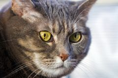 Cat's green eye. Grey cat looking to the left, exposing her bright green eyes royalty free stock photos
