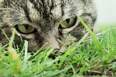 Cat's hunter eyes. Cat focusing on something through the grass Stock Photography