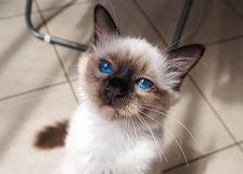 Birman cat hypnotaizing royalty free stock photography
