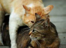 Cat's love royalty free stock image