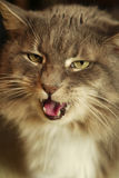 Cat's Meow. A portrait of a cat with his teeth and tongue showing Royalty Free Stock Photos