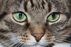 The cat's muzzle Stock Images