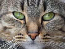 Cat's muzzle close up. Portrait of a nice tiger colored cat royalty free stock images