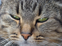 Cat's muzzle close up. Portrait of a nice tiger colored cat stock photo
