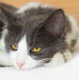 Cat's muzzle Stock Images
