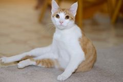 Orange and White Cat royalty free stock photography