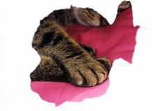 A cat`s paw behind a hiding place. Cat`s paw in hiding place Royalty Free Stock Photo