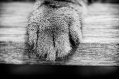 Cat`s Paw in Black and White royalty free stock photos