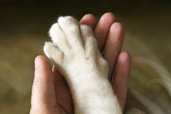 Cat's paw in the human hand, hand to hand. Cat is holding his paw in the human hand. Friendship of cat and human. The manifestation of trust stock image
