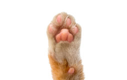 Cat's paw isolated. On white background Royalty Free Stock Photography