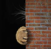 Cat`s paw and whiskers behind the wall. The cat hid behind the brick wall. Only his paw with long and sharp claws and his whiskers are visible. Black background stock photos