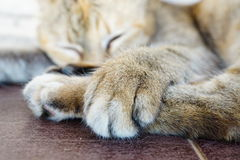 Cat's Paws. A lovely cat's paws when it's sleeping Stock Images