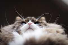 Cat`s pink nose and whiskers low angle view stock image
