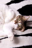 Cat's portrait. Portrait of a cat lying on a coverlet Royalty Free Stock Images