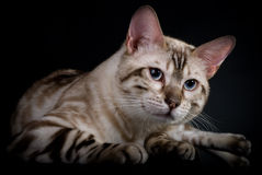 Cat's portrait. Portrait of a beautiful cat Royalty Free Stock Photos