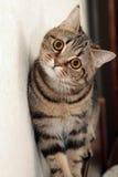 Cat's portrait. Portrait of scottish-strait cat Stock Image
