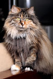 Cat's portrait. Cute cat in indoor portrait Royalty Free Stock Images