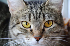 Cat's portrait with yellow eyes. Image of cat's portrait with yellow eyes Royalty Free Stock Image