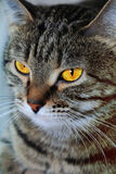 Cat's portrait with yellow eyes. Image of cat's portrait with yellow eyes Royalty Free Stock Photography