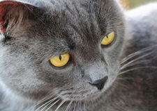 Cat's portrait with yellow eyes. Image of cat's portrait with yellow eyes Royalty Free Stock Photos