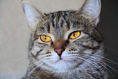 Cat's portrait with yellow eyes. Image of cat's portrait with yellow eyes Stock Images