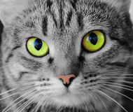 Cat's portrait with yellow eyes. Image of cat's portrait with yellow eyes Stock Image